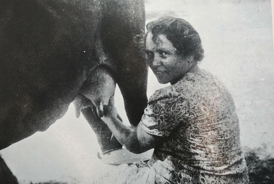 1945 - אלישבע וייס חולבת פרה
