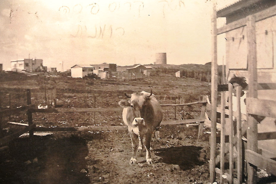 1937 - אחות של יוסקה קריס עם פרה רומנית במשקם.